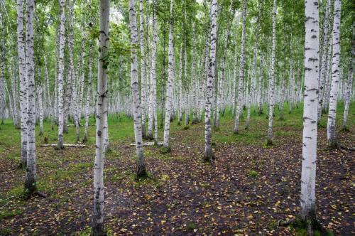 2 - 白桦林
